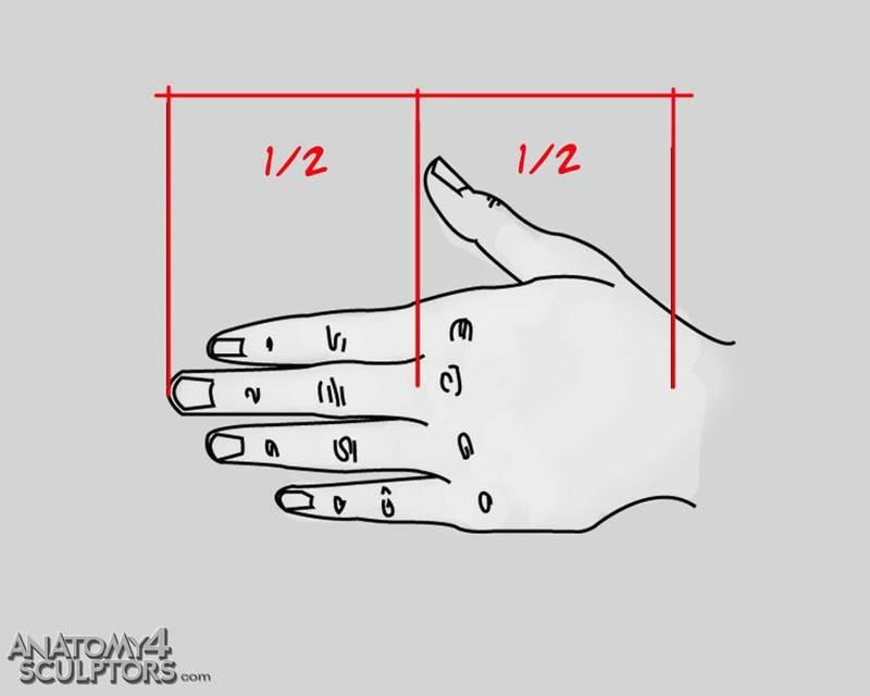 m_5985718_anatomy